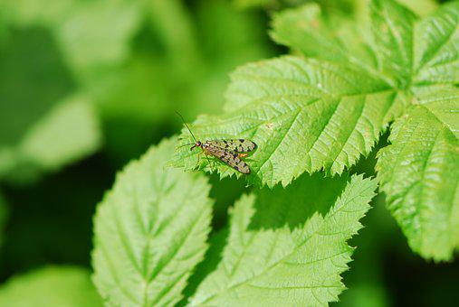 Scorpion Fly, Spring, Fly, Nature, Scorpion, Insect