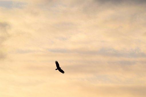 Bird, Silhouette, Golden Sky, Nature, Animal, Wing