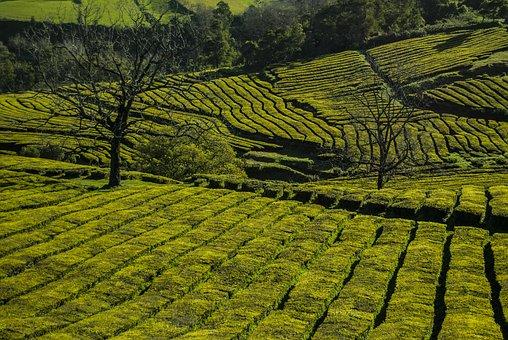 Plantation, Tea, Green, Nature, Walk, Portugal, Azores