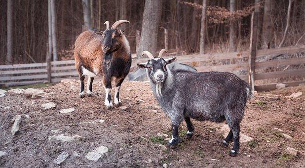 Goat, Animals, Animal World, Horns, Nature, Village