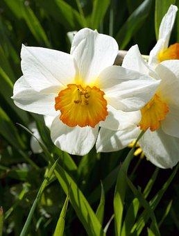 Flower, Narcissus, Summer, White, Flowers, Plant