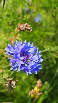 Wild Flower, Blossom, Bloom, Close, Flower, Blue, Macro