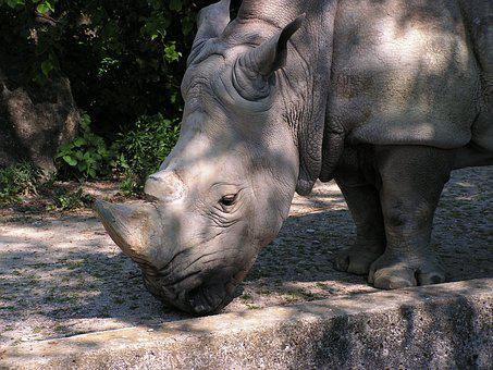 Rhino, Zoo, Safari, Mammals