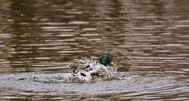 Duck, Water Bird, Paddling, Water, Animal