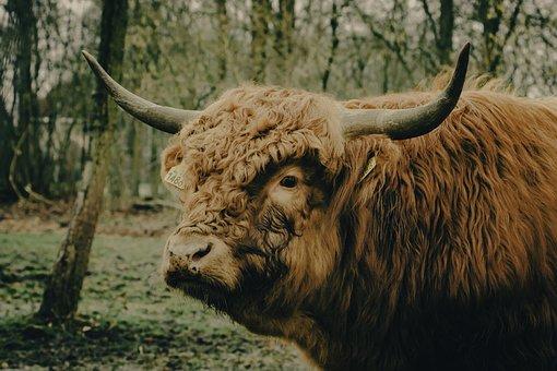 Cow, Scot, Highlander, Scotland, Animal, Nature, Bull