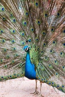 Peacock, Bird, Animal