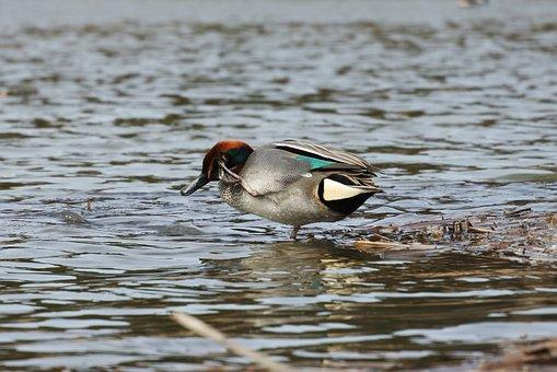 Animal, Duck, Teal, Waterfowl, Wild Birds, Wild Animal