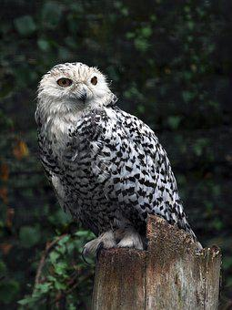 Bird, Pharaoh Eagle Owl, Owls, Bird Of Prey, Animals