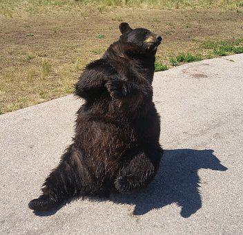 Bear, Black Bear, Zoo
