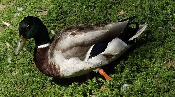 Duck, The Wild Duck, Bird, Wild Birds, Nature, Grass