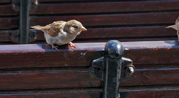 Birds, Sparrow, Fence