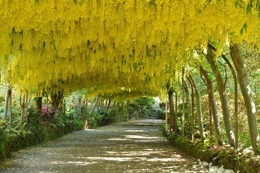 Laburnum Arch, Flowers, Bodnant Gardens, Wales