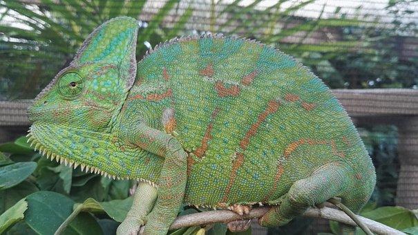 Veiled Chameleon, Chameleon, Reptile, Veiled, Green