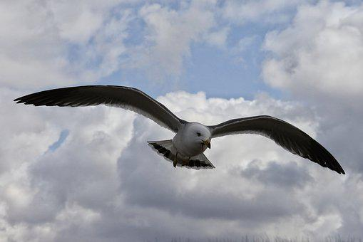 Animal, Sky, Cloud, Coast, Sea Gull, Seagull, Seabird