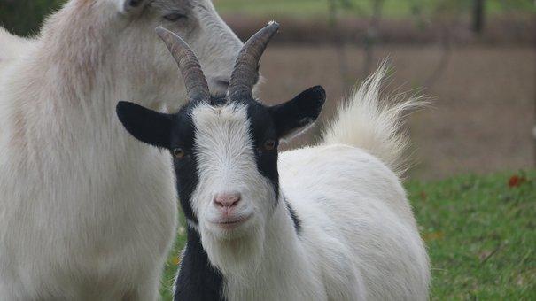 Goats, Farm, Countryside, Barnyard, Cute, Domestic