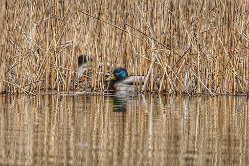Animal, Duck, Mallard, Waterfowl, Wild Birds