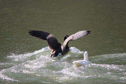 Duck, Water, Nature, Bird, Wildlife, Lake, Waterfowl