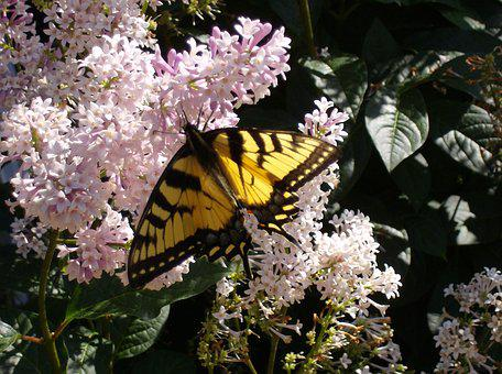 Butterfly Close Up, Lilac Bush, Flowers