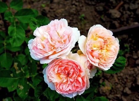Flowers, Roses, Blooms, Garden Flowers