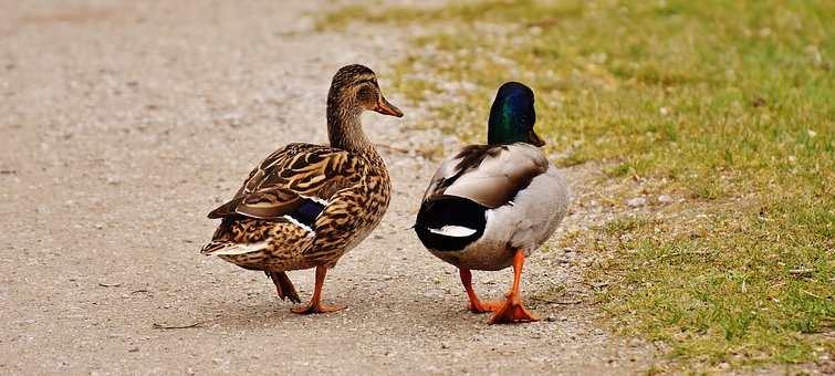Walk, Pair, Pair Of Ducks, Males, Female, Shed Light