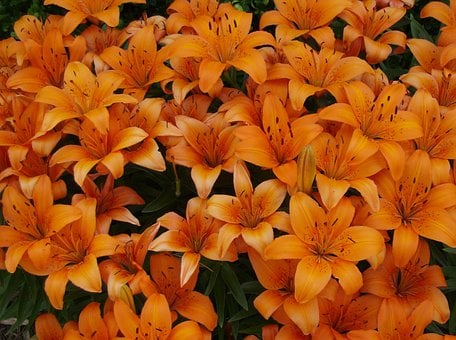 Orange Lily, Tiger Lily, Flowers