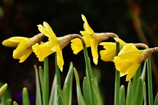 Osterglocken, Daffodils, Yellow, Spring, Blossom, Bloom