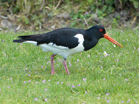 Oystercatcher, Bird, North Sea, Red Beak