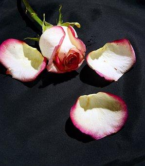 Rose, Flower, White Rose, Petals, Black Background