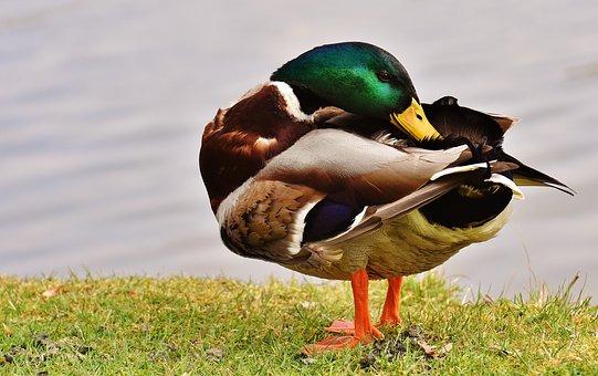 Drake, Clean, Plumage, Nature, Duck, Bird, Water Bird