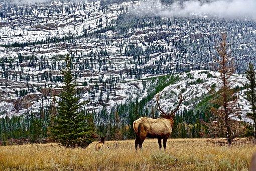 Wilderness, Mountains, Elk, Rockies, Nature, Scenery