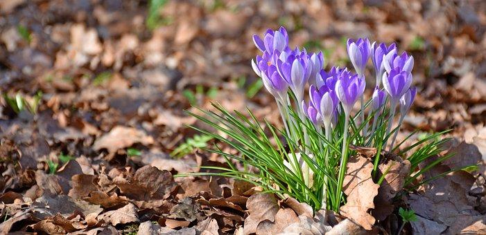 Crocus, Oak Leaves, Spring, Garden, Purple, Flower
