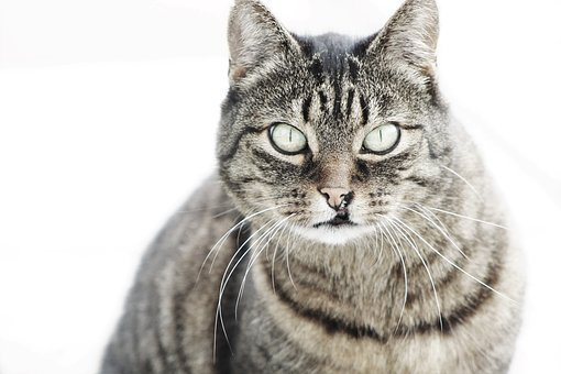 Cat, Striped, Pet, Mackerel, Fur, Animal, Adidas