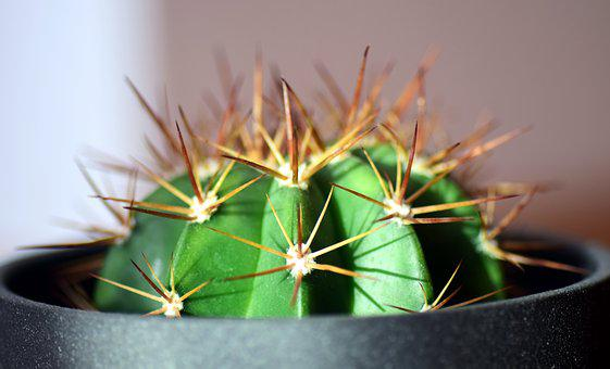 Cactus, Spur, Plant, Thorns, Green, Nature, Close