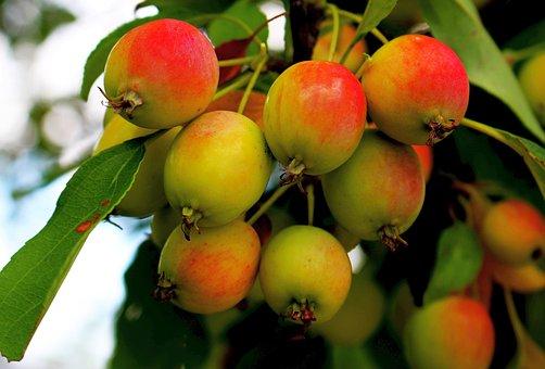 Fruit, Apples, Apple, Tree, Fruitful Apple Tree