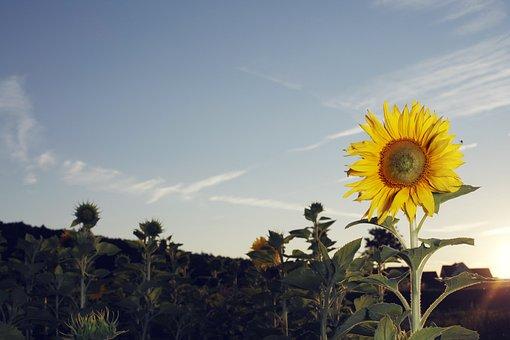 Sun Flower, Sunflower Field, Summer, Yellow, Flower