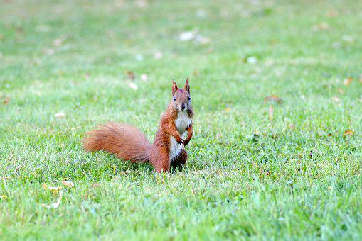 The Squirrel, Animal, Rodent, Park, Grass, Walnut, Kita