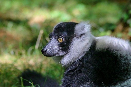 Lemur, Animal, Wild, Zoo, Maki, Madagascar, Hair