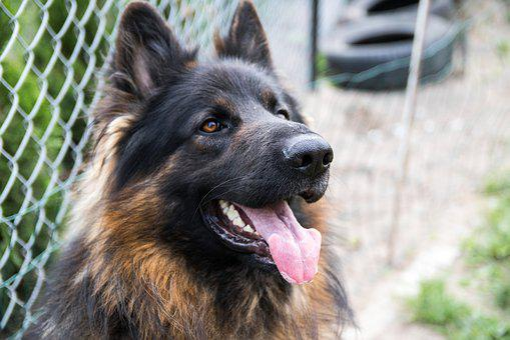 Dog, Sheep-dog, German Shepherd, Animal, Coat, Teeth