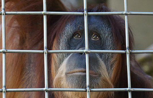 Orang Utan, Ape, Primate, Old World Monkey
