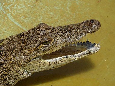 Crocodile, Reptile, Mexico, Moreletti, Scales, Yellow