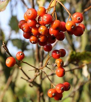 Swedish Whitebeam, Berry, Ass