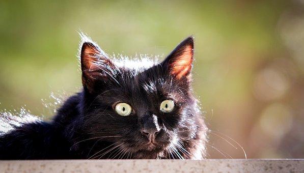 Cat, Black, Black Cat, Animal, Nature, Wildcat