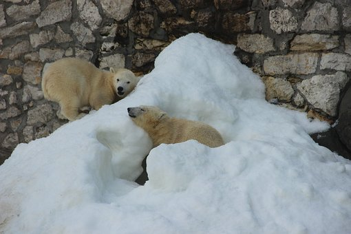 Bear, White Bear, Zoo, Summer, Animal, Animals