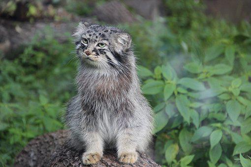 Manul, Summer, Wild Animal, Cat, Beautiful, Eyes
