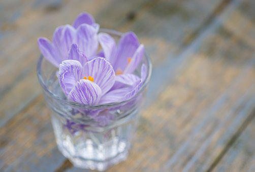 Crocus, Flower, Lilac, Purple, Violet, Nature, Spring