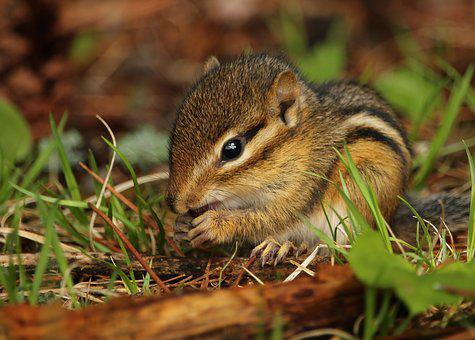 Chipmunk, Ground Squirrel, Rodent