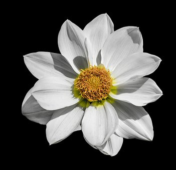 Dahlia, Flower, White, Floral, Head