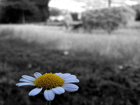 Daisy, Flower, Selective Color, Plant