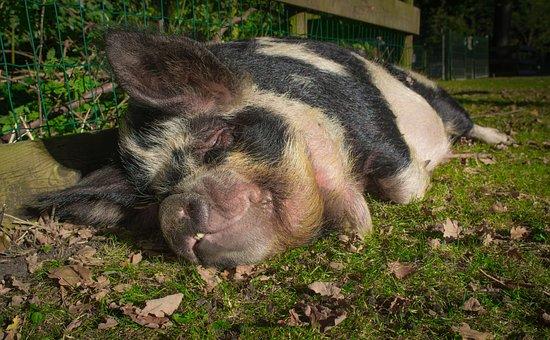 Hog, Pig, Animal, Pork, Farm, Mammal, Domestic