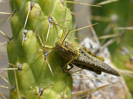 Grasshopper, Lobster, Detail, Eyes Grated, Cactus